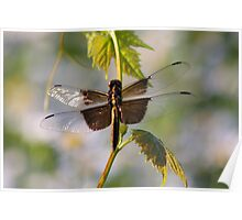 Catching Sunlight - Widow Skimmer Dragonfly Poster