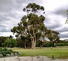 Eucalypt Tree - Werribee Park by EdsMum