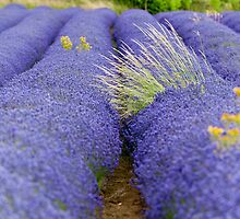 Lavender III by Chris Tarling