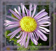 Close Up Lilac Aster With Bright Yellow Centre by taiche
