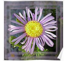 Close Up Lilac Aster With Bright Yellow Centre Poster