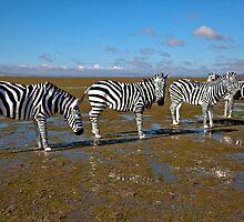 Canberra local Zebra's  by John Vandeven