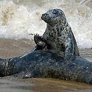 seals playing in surf by pamtrezise