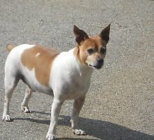 Rat Terrier by rhondaleach