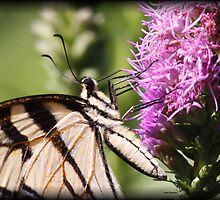 Tiger Swallowtail Butterfly by Dennis Cheeseman