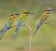Blue tailed bee eater three on single perch  by kvbhat