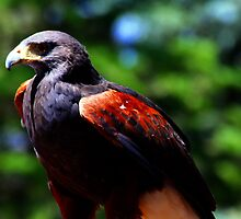 Harris Hawk by Dave & Trena Puckett