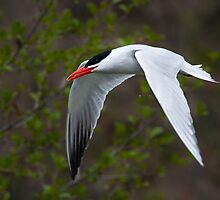 Caspian Tern by (Tallow) Dave  Van de Laar