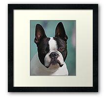 Jack ... Aust CH Loualli Invitation Only .. ♥ Framed Print
