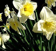 Dancing Daffodils by Shoshonan