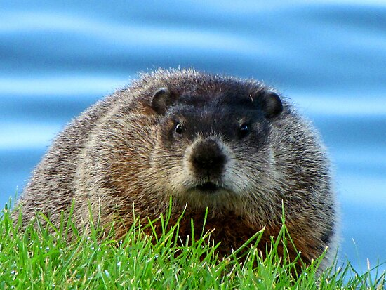 WOODCHUCK  by Marie  Morrison