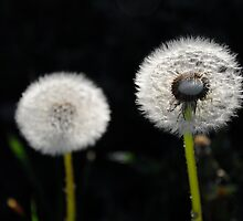 Dandelion (As is) by Karen  Betts