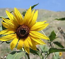 Sunflower by Missy Yoder
