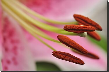 Stargazer Lilly Macro, As Is by Kim McClain Gregal