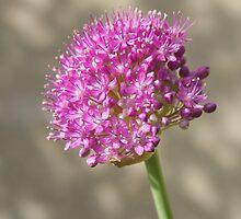 Allium Blooming by Judi FitzPatrick
