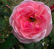 A pink Rose with a bumble bee inside it. by Missy Yoder