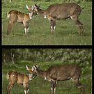 MOUNTAIN NYALA Tragelaphus buxtoni WITH REF: PLEASE READ BLURB by DilettantO