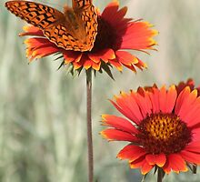 Fritillary Butterfly on Firewheel by Arla M. Ruggles