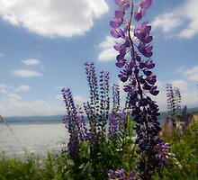 Seaside Lupines (purple flower) by Sven Brogren