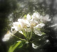 apple blossoms #3, focal black and white by Dawna Morton