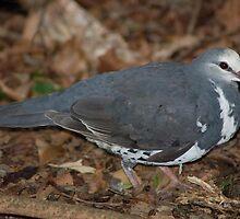 Wonga Pigeon by Melissa  Whitby
