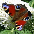 Peacock Butterfly by ienemien