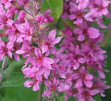 Purple Loosestrife- Lythrum salicaria by Tracy Faught