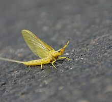 Yellow Drake Mayfly in Wakarusa by agenttomcat