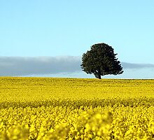 Fife's Golden Fields Of Rapeseed. by Aj Finan