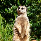Meerkat Sentry by Sandra Chung