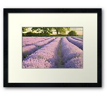 Lavender fields at Hartley Park Farm, Alton, Hampshire, England Framed Print