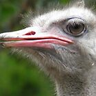 The Ostrich, Struthio camelus by angeljootje