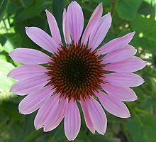 Purple Cone Flower by grandmarennie