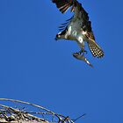 Montana Osprey, Landing with a Fish! by Donna Ridgway