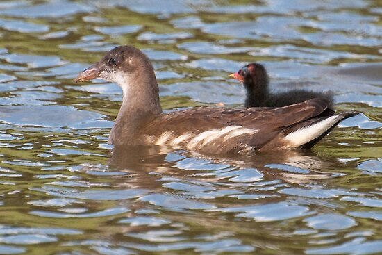 Birds on Bright Water: Juvenile Moorhen and Chick by Ann Miller