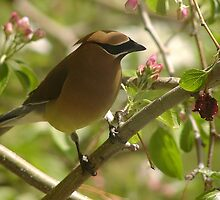 Cedar Waxwing in Apple Tree by lar3ry