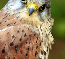 Close Up Of A Kestrel - (Falco tinnunculus) by Robert Taylor