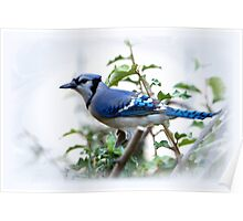 Blue Jay Poster