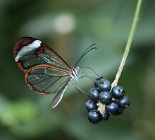 The glasswing butterfly by John Morrison