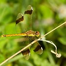 Female Banded Darter by Robert Abraham