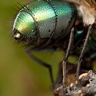 Green-bottle fly (Lucilia sp.) abdomen by DavidKennard