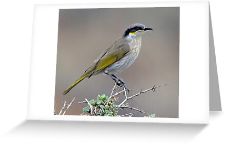 Singing Honeyeater taken Port Augusta SA by Alwyn Simple