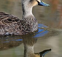 Australian Black Duck with reflection taken at Murray Bridge Wetlands. by Alwyn Simple