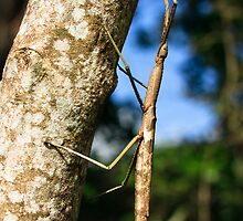 Giant stick insect by Johan Larson