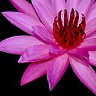 Pink Water Lily by myrbpix