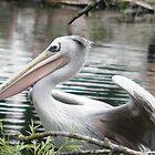 pelican by angeljootje