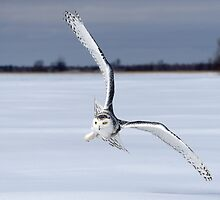 Catch The Wind / Snowy Owl by Gary Fairhead