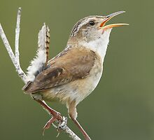 Marsh Wren 01 by DigitallyStill