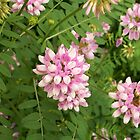 Crown-vetch by ArtBee