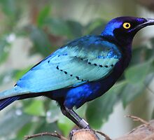 Purple Glossy-starling by DutchLumix